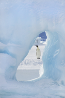 An adult Emperor penguin standing Seen through an ice arch.