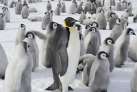Emperor penguins, penguin chicks. A breeding colony.