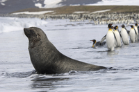 Antarctic fur seal and King penguins moving in single file