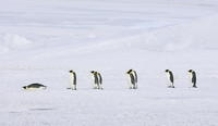 Emperor penguins walking across the ice and snow,  one sliding on stomach