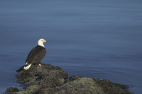 American Bald Eagle, Haliaeetus leucocephalus, Alaska, USA