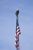 American Bald Eagle, Haliaeetus leucocephalus, Alaska, USA 11093000556| 写真素材・ストックフォト・画像・イラスト素材|アマナイメージズ