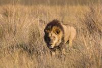 African lion, Duba Plains, Botswana 11093001874| 写真素材・ストックフォト・画像・イラスト素材|アマナイメージズ