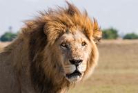 African lion male, Botswana 11093001882| 写真素材・ストックフォト・画像・イラスト素材|アマナイメージズ