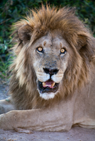African lion male, Botswana