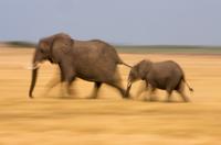 African elephant and calf, Botswana