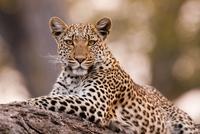 Leopard, Chobe National Park, Botswana 11093001907| 写真素材・ストックフォト・画像・イラスト素材|アマナイメージズ