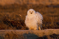 Snowy owl, George C. Reifel Bird Sanctuary
