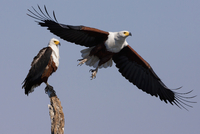 African fish eagles, Chobe National Park, Botswana