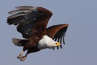 African fish eagles, Chobe National Park, Botswana