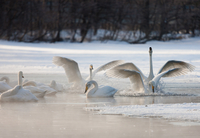 Cygnus cygnus, Whooper swans, on a frozen lake in Hokkaido. 11093002041| 写真素材・ストックフォト・画像・イラスト素材|アマナイメージズ