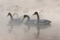 Cygnus cygnus, Whooper swans, on a frozen lake in Hokkaido. 11093002042  写真素材・ストックフォト・画像・イラスト素材 アマナイメージズ