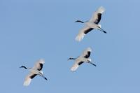Japanese cranes, Hokkaido, Japan 11093002053| 写真素材・ストックフォト・画像・イラスト素材|アマナイメージズ