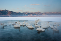 Cygnus cygnus, Whooper swans, on a frozen lake in Hokkaido. 11093002058| 写真素材・ストックフォト・画像・イラスト素材|アマナイメージズ