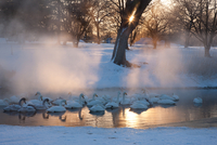 Whooper swans, Hokkaido, Japan 11093002059| 写真素材・ストックフォト・画像・イラスト素材|アマナイメージズ