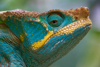 Parson's Chameleon, Calumma parsonii, Madagascar 11093002085| 写真素材・ストックフォト・画像・イラスト素材|アマナイメージズ