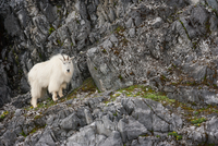 Mountain Goat, Glacier Bay National Park and Preserve