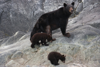 Black bear and cubs, Glacier National Park and Preserve