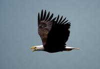 Bald eagle flying in the air, Katmai National Park