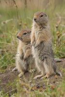 Arctic ground squirrels, Arctic National Wildlife Refuge