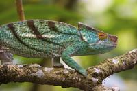 Parson's chameleon, Madagascar 11093002277| 写真素材・ストックフォト・画像・イラスト素材|アマナイメージズ