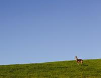 Black-tailed deer on a grassy hillside 11093002377| 写真素材・ストックフォト・画像・イラスト素材|アマナイメージズ