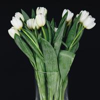 White tulips in a vase, against a black background 11093002378| 写真素材・ストックフォト・画像・イラスト素材|アマナイメージズ