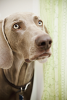 A pedigree breed, a Weimaraner dog in the shower room