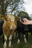 Hand holding a mobile phone, taking a picture of a cow.