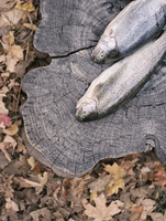 Two fresh fish lying on a tree trunk.