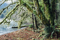 Lush temperate rainforest along the shores of Lake Crescent, mature trees with lichen covered branches reaching towards the ligh 11093004929| 写真素材・ストックフォト・画像・イラスト素材|アマナイメージズ