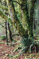 Lush temperate rainforest along the shores of Lake Crescent, mature trees with lichen covered branches reaching towards the ligh