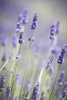Close up of a purple lavender plant. 11093005739| 写真素材・ストックフォト・画像・イラスト素材|アマナイメージズ