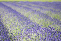 Rows of aromatic plants, lavendula, flowering in fields.