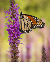 Monarch Butterfly sitting on a purple flower.