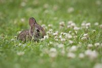 Baby rabbit sitting in a grass and clover meadow.