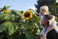 A girl seated on her father's shoulders, reaching to touch a sunflower in full bloom. 11093007041| 写真素材・ストックフォト・画像・イラスト素材|アマナイメージズ