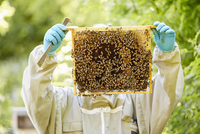 A beekeeper with blue gloves holding up a super or frame full of honey covered in bees.  11093007073| 写真素材・ストックフォト・画像・イラスト素材|アマナイメージズ
