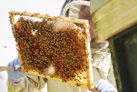 A beekeeper holding up a super frame with worker bees loading the cells in honey.