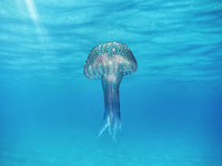 Underwater view of a jellyfish floating in the ocean.