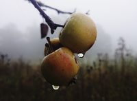 Winter scene, droplets of rain climbing to the apples on the branch of a tree.