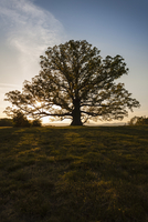 Large old tree in a landscape at sunset.