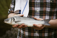 Close up of a chef holding a fresh fish in his hands.