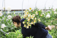 A woman picking cut flowers from the cuttings beds in a polytunnel.  11093010615| 写真素材・ストックフォト・画像・イラスト素材|アマナイメージズ