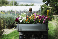 A man driving a small garden vehicle along the path between flowerbeds, loaded with cut flowers for commercial orders and flower