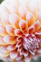 Close up of a dahlia flower.