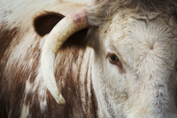 Close up of the head and horn of an English Longhorn cattle.