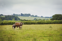 English Longhorn cattle in a field in England.