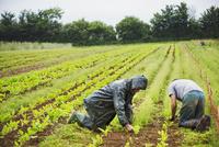 Two men kneeling in a field tending to small plants in rows.