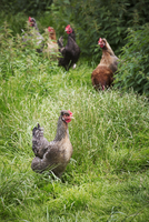 Small flock of domestic chickens in a garden.